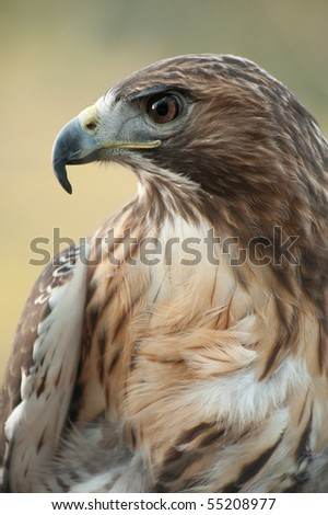 Profile close up of Red Tail Hawk - stock photo