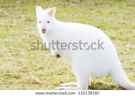Profile closeup of albino white wallaby with red eyes - stock photo