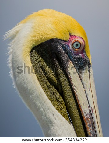 Profile closeup of American brown pelican in colorful breeding plumage - stock photo
