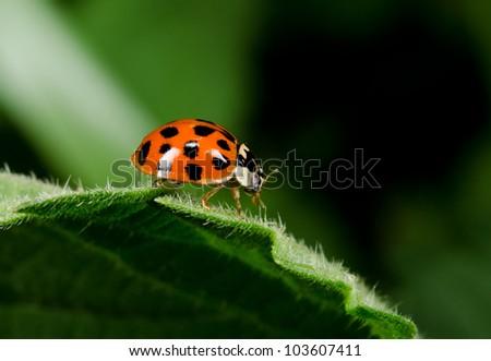 profile, harlequin ladybird - stock photo
