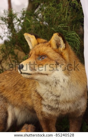 profile in close up of a stuffed fox