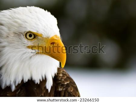 Profile of a Bald Eagle (Haliaeetus leucocephalus) - stock photo