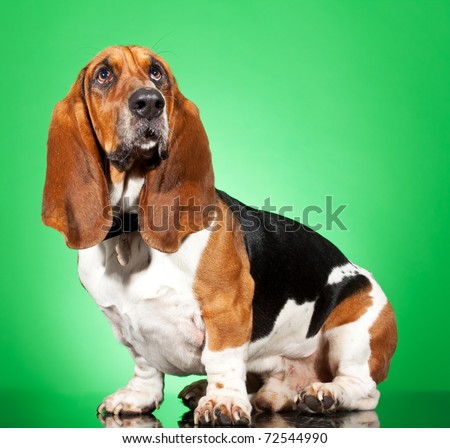 Profile of a Basset Hound dog looking up isolated on white - stock photo