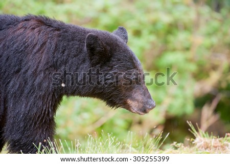 Profile of a beautiful black bear walking into the frame from the left; facing right