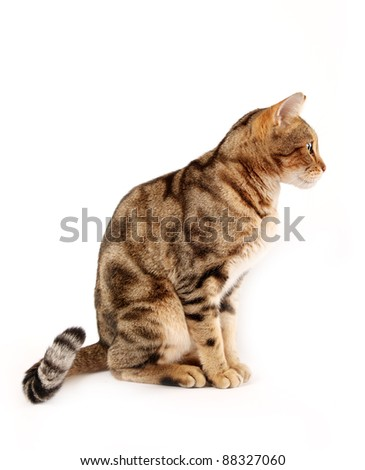 Profile of a Bengal cat against a white background.