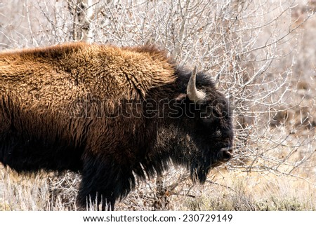 Profile of a bison in Teton National Park - stock photo