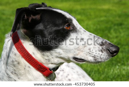 Profile of a black and white greyhound rescue dog - stock photo