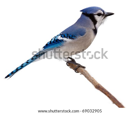 profile of a bluejay as it proudly perches on branch surveying the backyard. blue jay is isolated on a white background with catch light in its eye