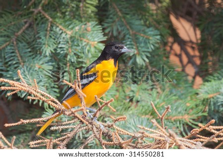 Profile of a bright orange male oriole perched in a blue spruce pine tree. - stock photo