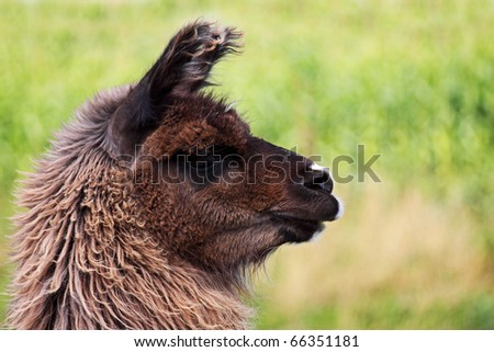 Profile of a brown llama out in a field - stock photo