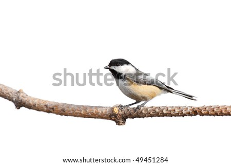 profile of a chickadee at rest while it scans the forest; white background - stock photo