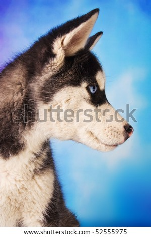 Profile of a cute husky puppy, 3 months old, on blue background