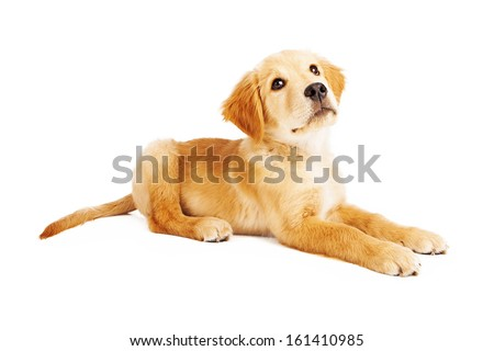 Profile of a cute twelve week old puppy laying down and looking up. - stock photo