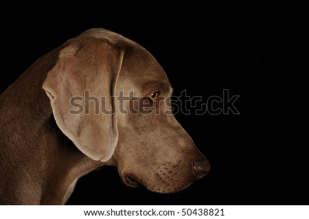 Profile of a dog's face on a black background.Weimaraner
