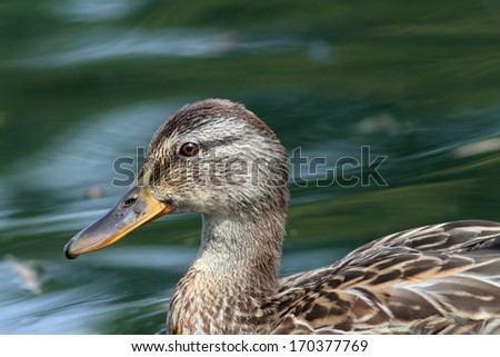 profile of a female mallard duck ( anas platyrhynchos ) - stock photo