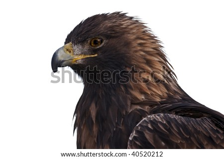 Profile of a Golden Eagle.