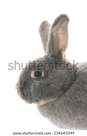 Profile of a grey rabbit's head, isolated on white  - stock photo