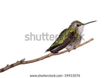 profile of a hummingbird perched on a branch; white background