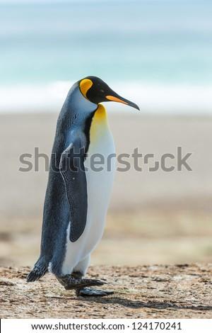 Profile of a KIng penguin.  Falkland Islands, South Atlantic Ocean, British Overseas Territory - stock photo