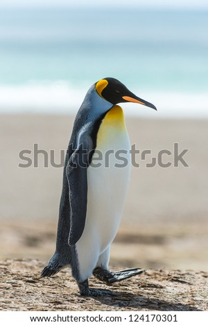 Profile of a KIng penguin.  Falkland Islands, South Atlantic Ocean, British Overseas Territory - stock photo