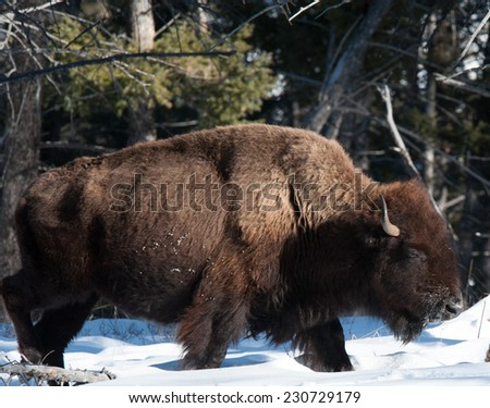 Profile of a large bison plodding through the snow facing right, winter in Yellowstone National Park - stock photo
