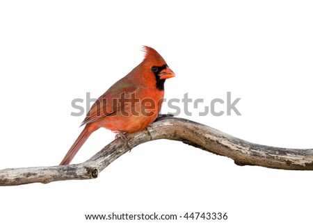 profile of a male cardinal sitting on a branch; white background - stock photo