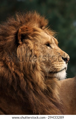 profile of a male lion in the evening sun