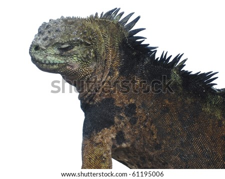Profile of a male marine iguana (amblyrhyncus cristatus) on the Galapagos Islands. The characteristic mottled scales are indicative of a mature male in breeding season. Isolated to a white background. - stock photo