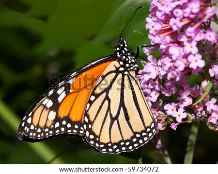 profile of a monarch butterfly at rest on a butterfly bush - stock photo