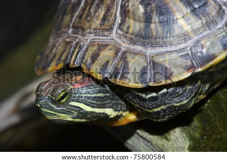 Profile of a Painted Turtle relaxing on a stone. - stock photo