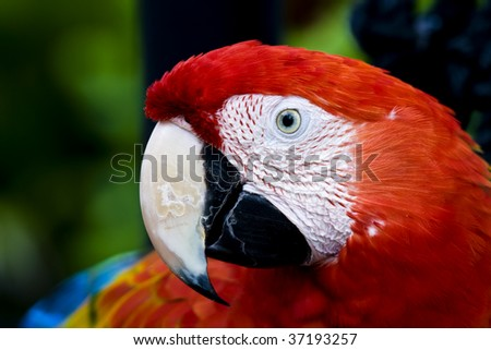 Profile of a parrot: a Scarlet Macaw (Ara macao) - stock photo