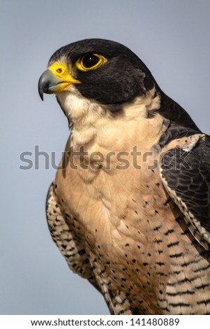 Profile of a Peregrine Falcon sitting on a tree branch in the morning sun - stock photo