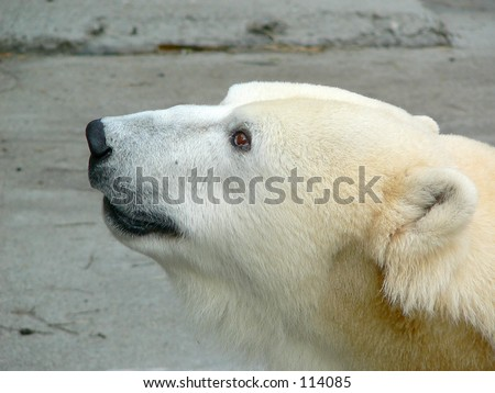 Profile of a polar bear. - stock photo