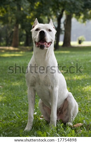 Profile of a pure white Argentinian Pit Bull Dog.