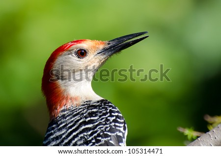 Profile of a Red Bellied Woodpecker - stock photo