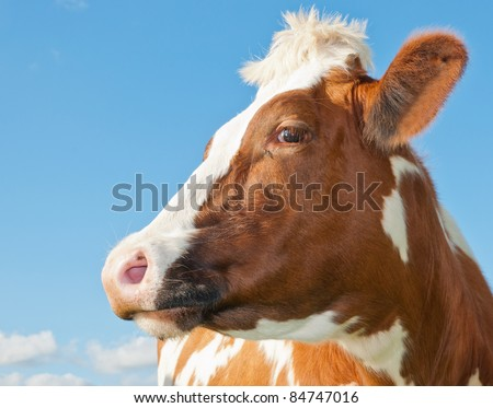 Profile of a red cow head against a blue sky in the Netherlands - stock photo