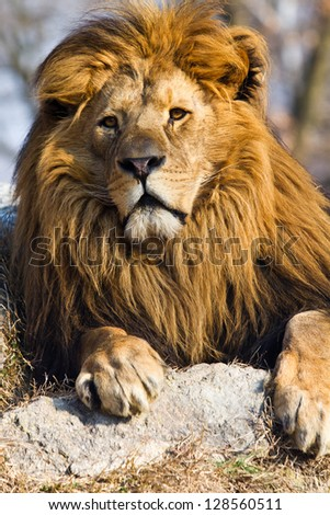 profile of a relaxed African lion - stock photo