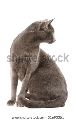 Profile of a russian blue cat - stock photo