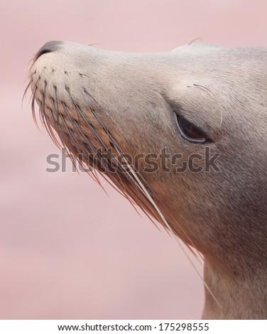 Profile of a sea lion at the coast of Santa Cruz, Galapagos Islands, Ecuador - stock photo