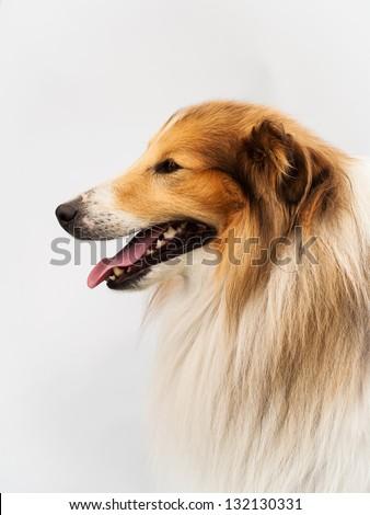 profile of a Shetland Sheepdog head shot in studio with white background - stock photo