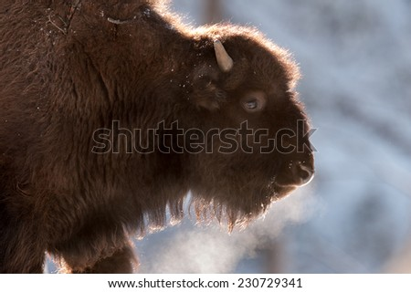 Profile of a young bison with breath showing due to bitter cold temperatures, Yellowstone National Park in winter - stock photo