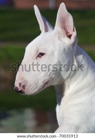 Profile of a young Bull Terrier. - stock photo