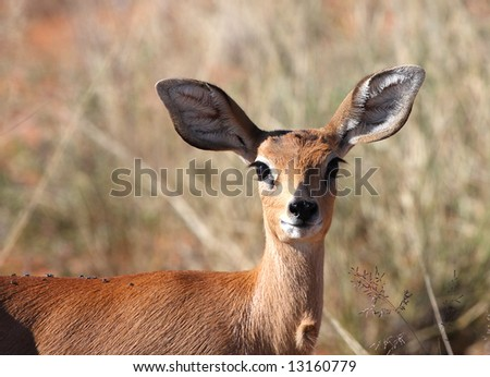 Profile of a young steenbok in the Kalahari