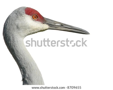 Profile of adult sandhill crane isolated on white. Grus canadensis is a species of large crane of North America and extreme northeastern Siberia. This image is of an endangered Florida sandhill crane - stock photo