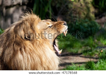 Profile of African lion showing teeth - stock photo