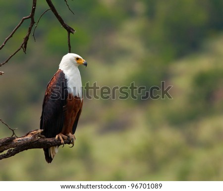 Profile of an African Fish Eagle perched on a dead branch - stock photo