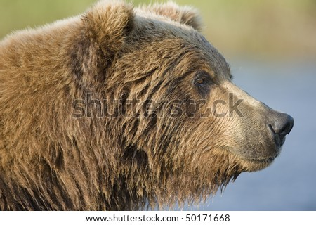 Profile of an Alaskan brown bear. - stock photo