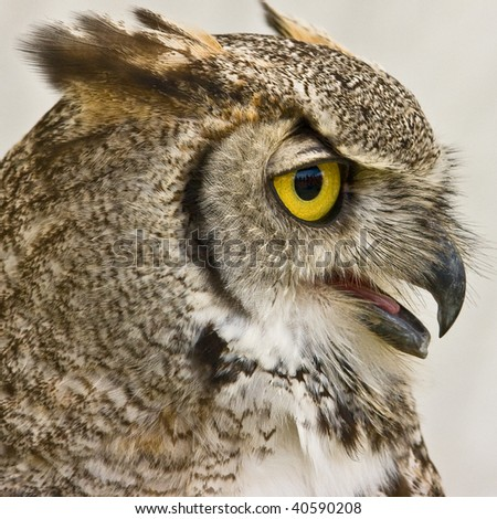 Profile of an Owl - stock photo