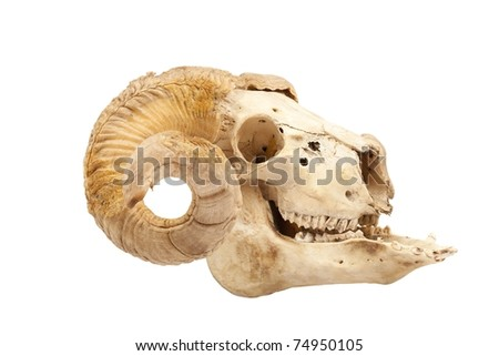 Profile of animal skull with big horn isolated isolated on white - stock photo
