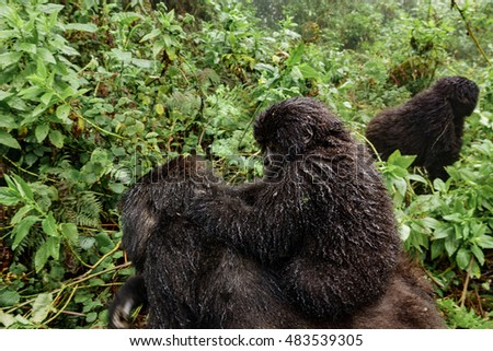Profile of baby mountain gorilla over the back of mom, focus on eyes